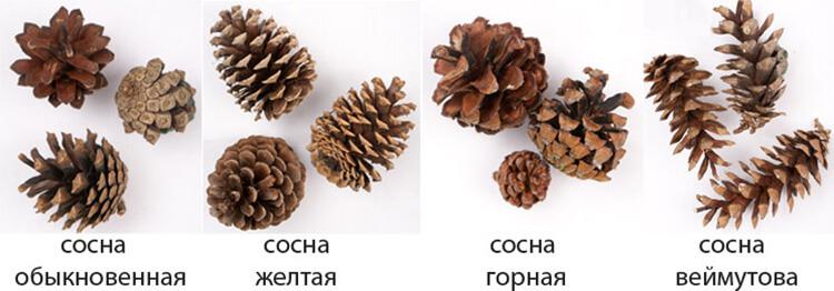 Как сделать ежика из шишки: различные варианты поделки ezhik iz shishek 1